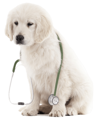 retriever pup stethoscope_transparent