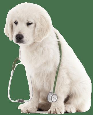 retriever pup stethoscope_transparent